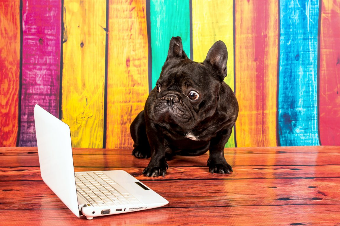 french bulldog with a laptop looking shocked